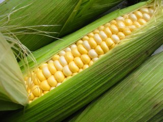 Кукуруза (маис) — Zea mays L. Сем. Мятликовые (злаковые) — Роасеае