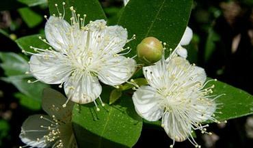 Мирт обыкновенный — Myrtus communis L. Сем. Миртовые — Myrtaceae