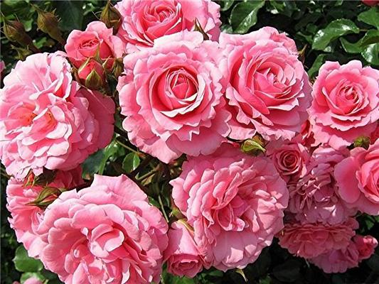 Роза дамасская и другие виды — Rosa damascena Mill. Сем. Розоцветные — Rosaceae