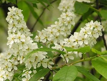 Черемуха обыкновенная — Padus avium Mill. Сем. Розоцветные — Rosaceae