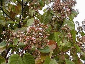 Цинхона (хинное дерево) — виды рода Cinchona L. Сем. Мареновые — Rubiaceae