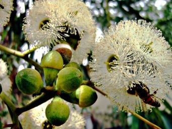 Эвкалипт — Eucalyptus. Сем. Миртовые — Myrtaceae