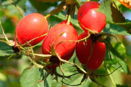 Шиповник (шипняк, шипшина, петушьи ягоды, свороборина и др.) — Rosa L. Сем. Розоцветные — Rosaceae