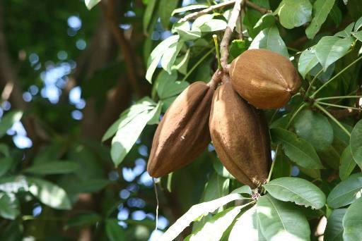 Шоколадное дерево (шоколадкиник) — Theobroma cacao L. Сем. Стеркулиевые — Sterculiaceae